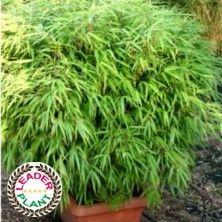 Bambou Fargesia 'Rufa'