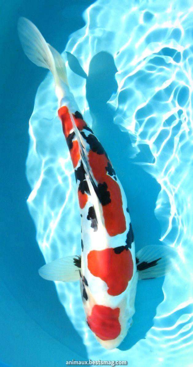 Terrible Doitsu Sanke Koi Coifishponds Coifishponds Doitsu Sanke Koi Art Koi Fish Pond Koi Painting