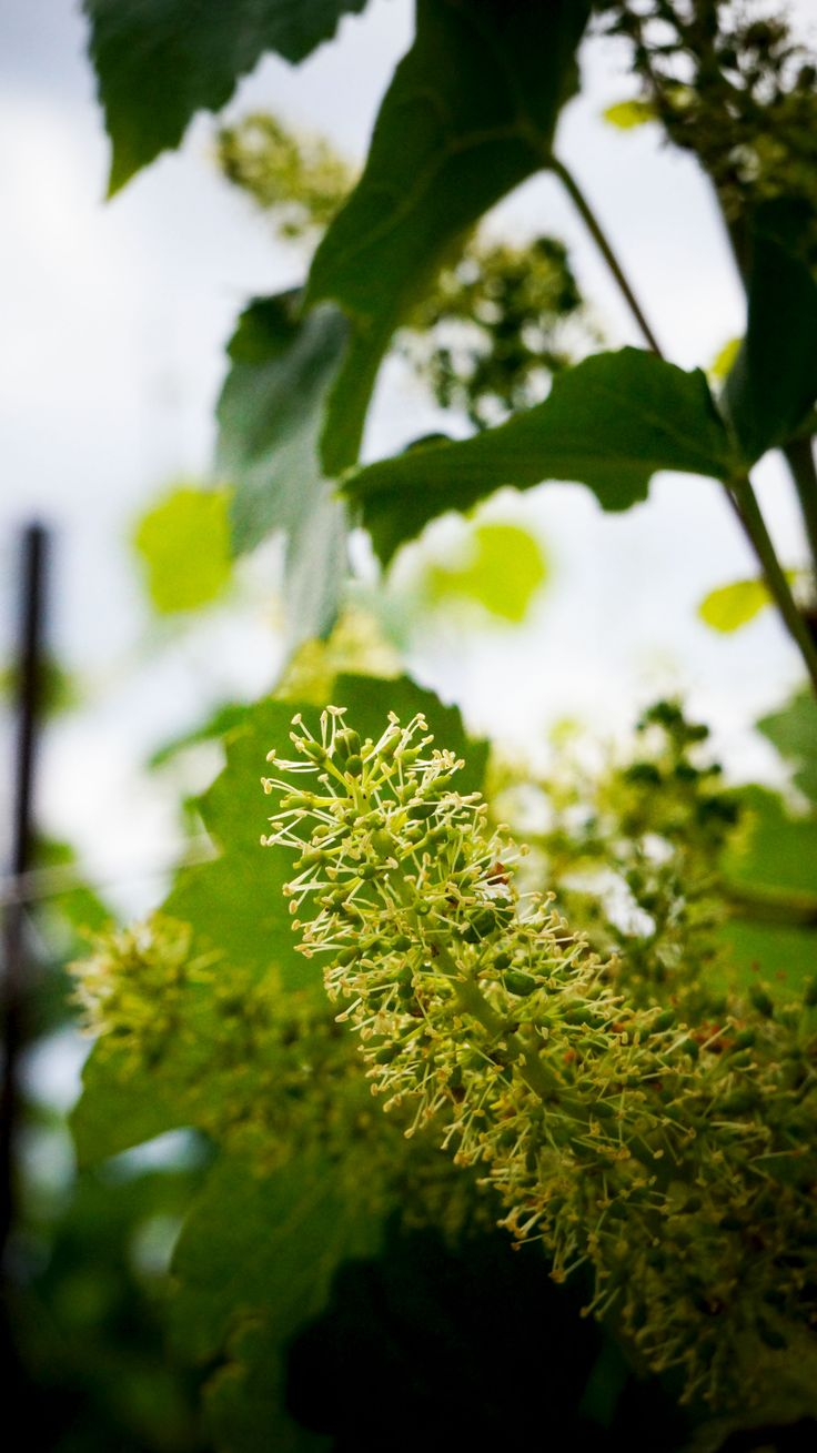 Another picture of our wonderful flowering Come and visit us at www.marcheseadorno-wines.it #flowering #wines #spring #italianwine