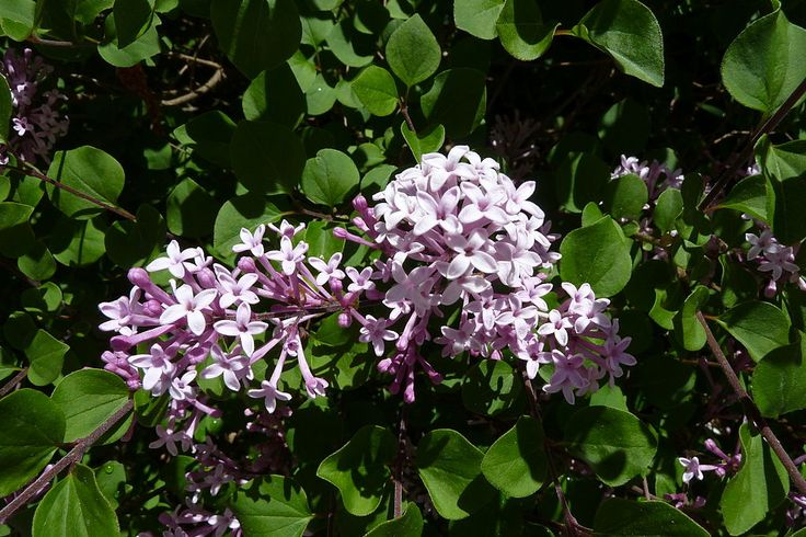 The soft lavender tones and intoxicating scent of lilac add up to a pretty garden accent. That being said, lilacs have an unfortunate tendency to get large and unruly, but new types of dwarf lilac have compact forms. Click here to learn more about them.