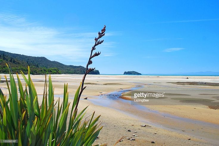 New Zealand Flax in Flower with a Classic Clear New Zealand Spring Sky and Golden Sand Estuary.