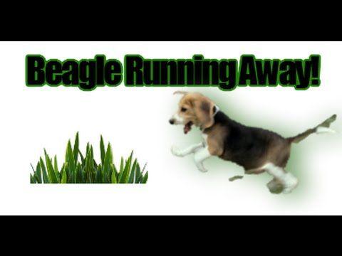 How to train a beagle to not run away!  Beagle Temperament...