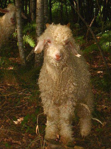 Angora goats vs rabbits