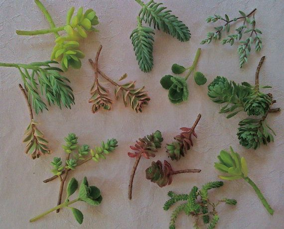 32 Succulent Cuttings   Colorful SEDUM by Succulentsplus on Etsy