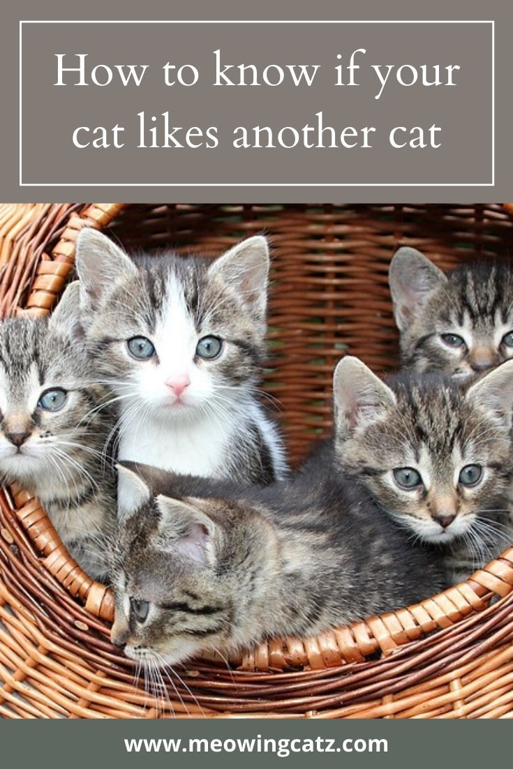How To Know If Your Cat Likes Another Cat In 2020 Raising Kittens Cats Kittens
