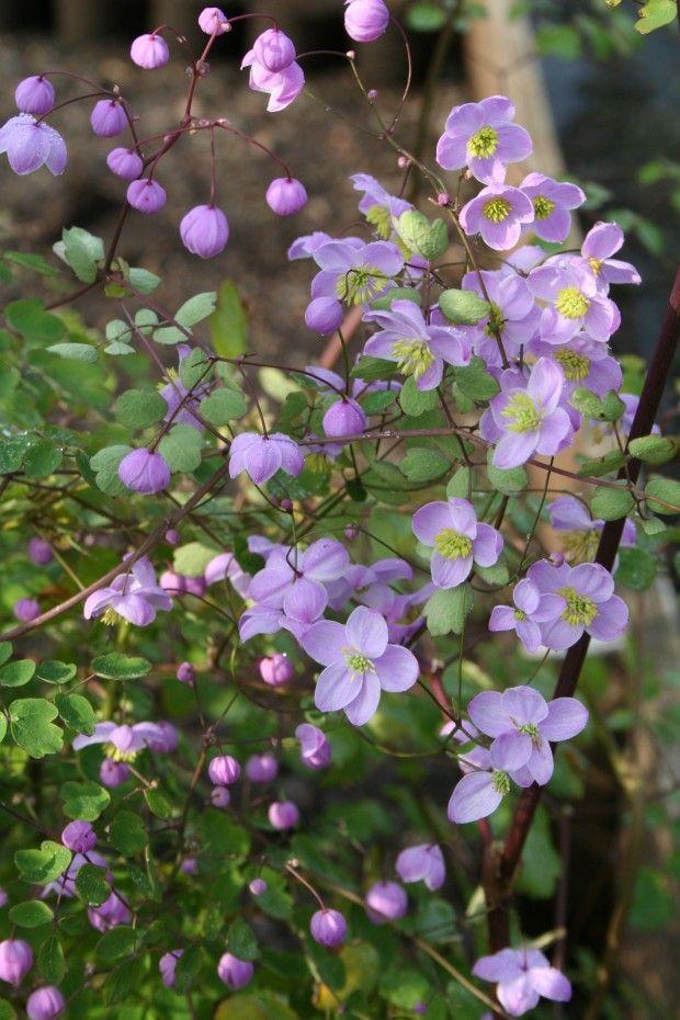 Violruta, Thalictrum delavayi, 'Splendide' - Denna skira, violetta violruta blir 120 cm hög och passar därför bra som komplement till höga, robusta växter i en rabatt. Den blommar i juli-augusti och trivs i full sol till halvskuggigt läge.
