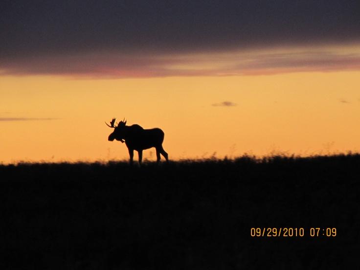 Moose at Lake Diefenbaker, Saskatchewan