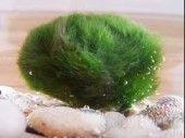 Hinterland Trading Live Marimo Moss Ball Pet Cladophora Aquatic Plant 1 1/4″