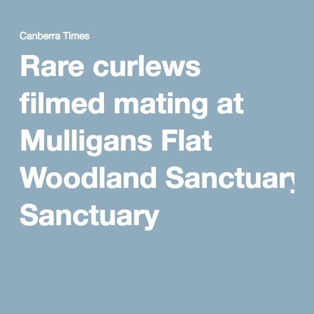 Rare curlews filmed mating at Mulligans Flat Woodland Sanctuary