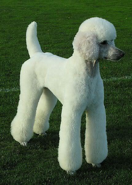 Standard Poodle German Clip Beautful
