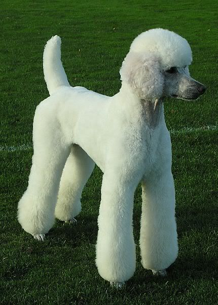 Standard Poodle German Clip Beautful
