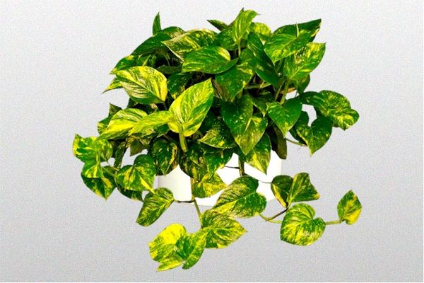 Devils Ivy-Golden Pothos Money Plant, looks just like philodendron but it's yellow and green & only wants indirect light