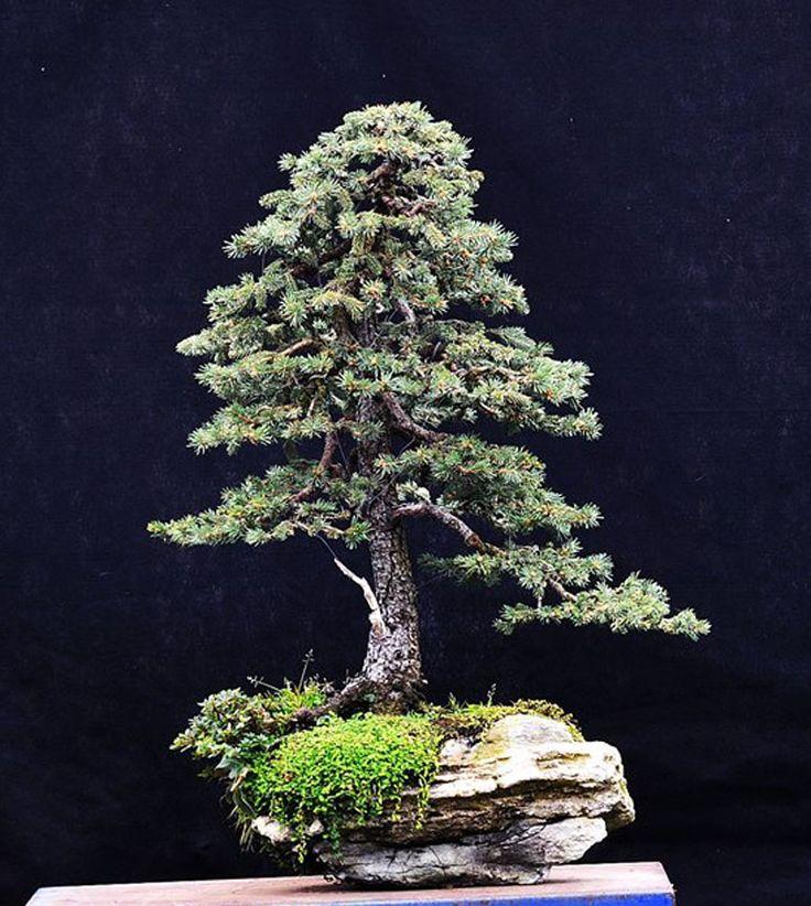 520 besten bonsai bilder auf pinterest bonsai pflanzen. Black Bedroom Furniture Sets. Home Design Ideas