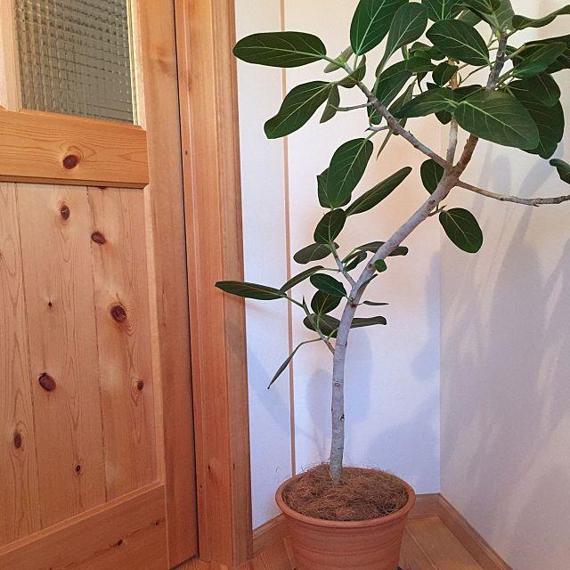 女性で、2LDKの観葉植物/片付け/日替わり投稿企画!土曜日/玄関/入り口についてのインテリア実例を紹介。「殺風景な玄関に置くために買ってたゴムの木をやっと陶器の鉢に植え替えました」(この写真は 2017-05-13 18:31:14 に共有されました)