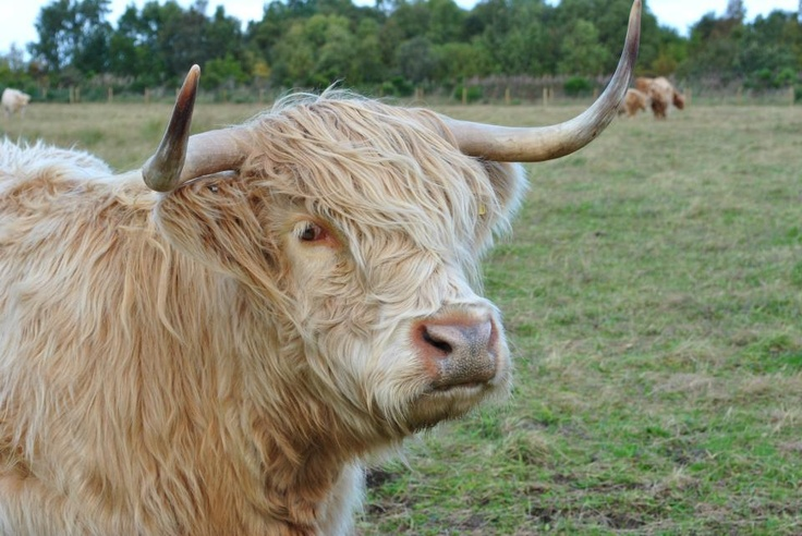 "From my trip to Scotland - Highland cow aka ""hairy coo"""