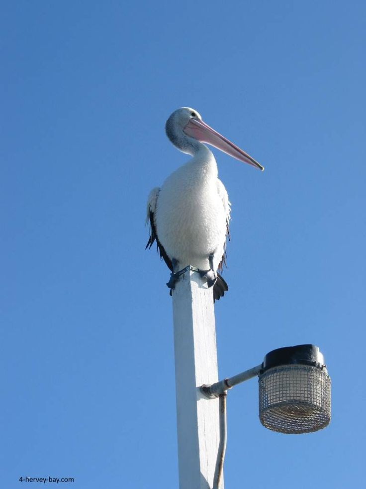 Just chillin' on the pier in Hervey Bay