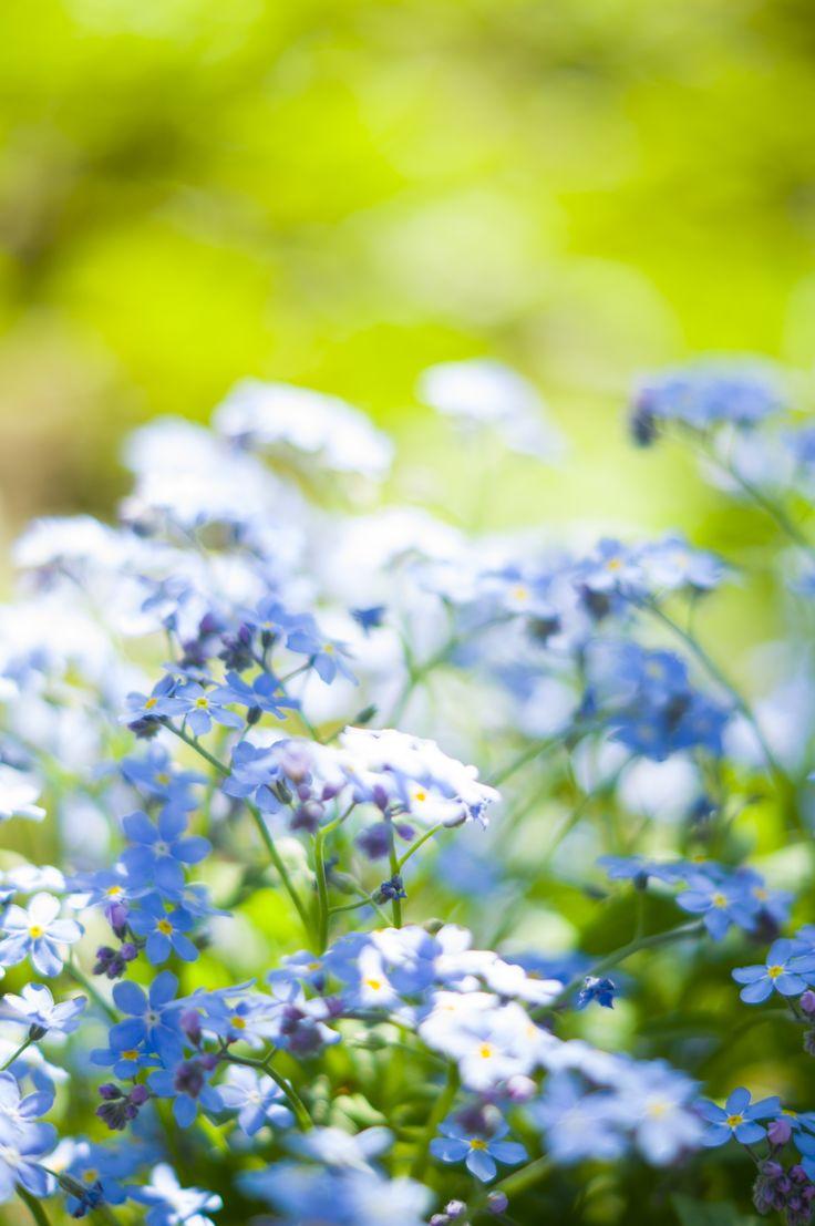 незабудки, голубые цветы, flower