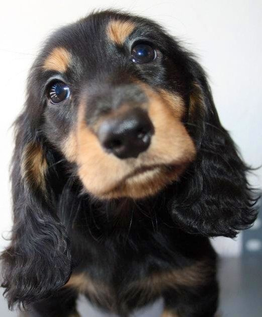 Longhair baby dachshund Puppy Dog Puppies Dogs