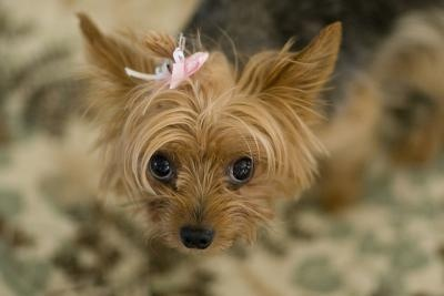 Quick Guide to Housetraining Your Toy Breed Dog