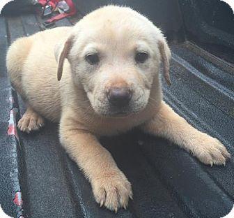 Grafton, WI - Labrador Retriever Mix. Meet Si, a puppy for adoption…