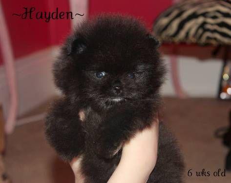 black teddy bear pomeranian - photo #25