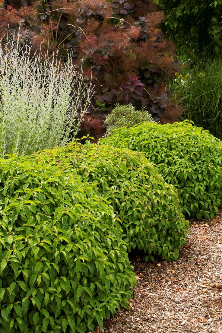 25 best ideas about red osier dogwood on pinterest for Typical landscaping plants