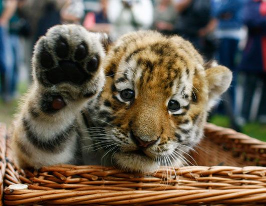 cute little baby tiger! i want one but they grow up way to fast! and that is to dangerous!