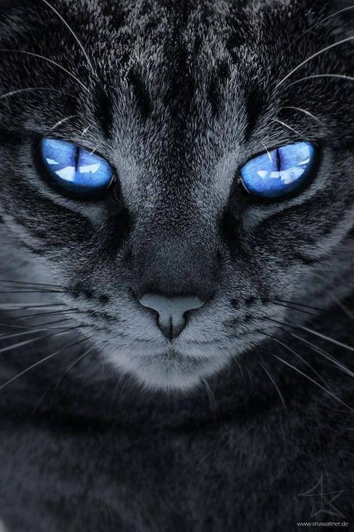 Eu amo GATOS!!  gato dos olhos azuis e pêlo cinza ... lindos e muito amados como todos os outros!  Como não amá-los?