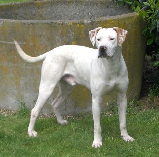english pointer dog photo | Moose, english pointer x dogo argentino, irishwolfhound, english ...