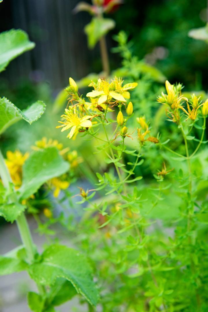 Johannesört, Hypericum perforatum | Förr trodde man att johannesörten kunde fördriva onda andar. Därför har den även kallats satansflykt och djävulsflykt. I dag har örten fått en renässans som naturläkemedel eftersom den i flera studier visat sig fungera mot depression. Plocka blommorna när de just slagit ut eller fortfarande är knoppar. Blommorna är gula men ger brännvinet en vackert röd färg.