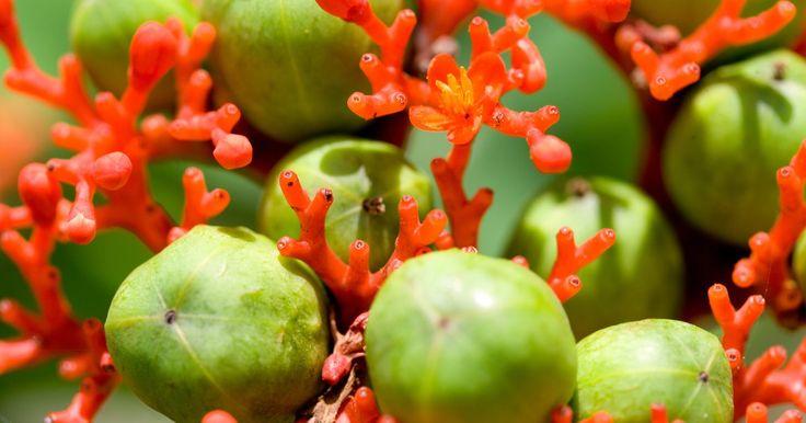 Usos de la fruta zapote. Miembros de las familias botánicas Rutaceae y Sapotaceae, el zapote blanco, el zapote mamey y el zapote negro son frutas originarias de México y América Central con una producción limitada fuera de esas regiones. Misteriosos y exóticos para los nuevos consumidores, los zapotes resultan fáciles de trabajar y se adaptan a recetas que acentúan el ...