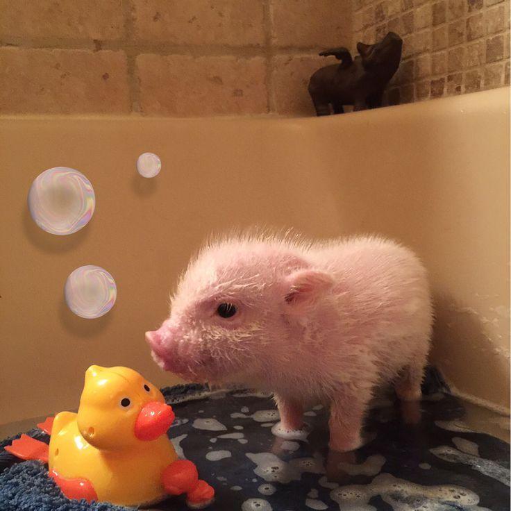 お風呂場でアヒルのおもちゃと遊ぶ豚の赤ちゃん