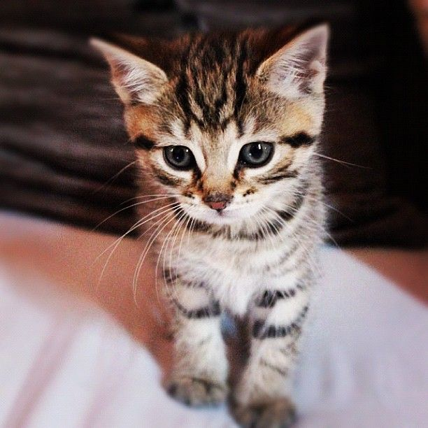 Shoutout to the #kittensofinstagram kitten of the day @mrc xo 😻💜 #cute #adorable #sweet #kitten #little #baby #cat #followback #cats #tagforlikes #F4F