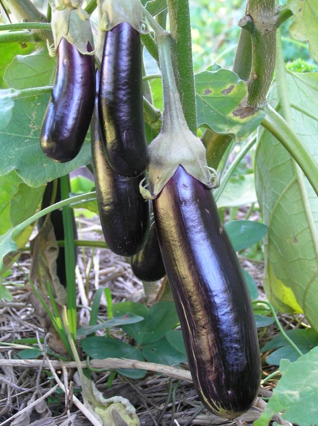 24 Best P Garden Eggplant Images On Pinterest Eggplant 400 x 300