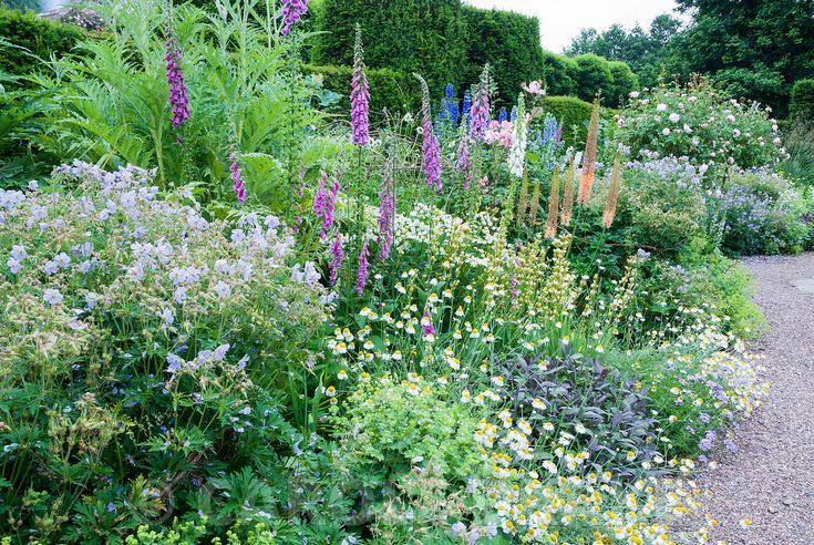 Herbaceous borders at Cothay Manor, Somerset, containing repeated clumps of purple sage, Anthemis punctata sp cupaniana, Geranium pratense 'Mrs Kendall Clark' and Alchemilla mollis punctuated by foxtail lilies, foxgloves, delphiniums and four standard roses