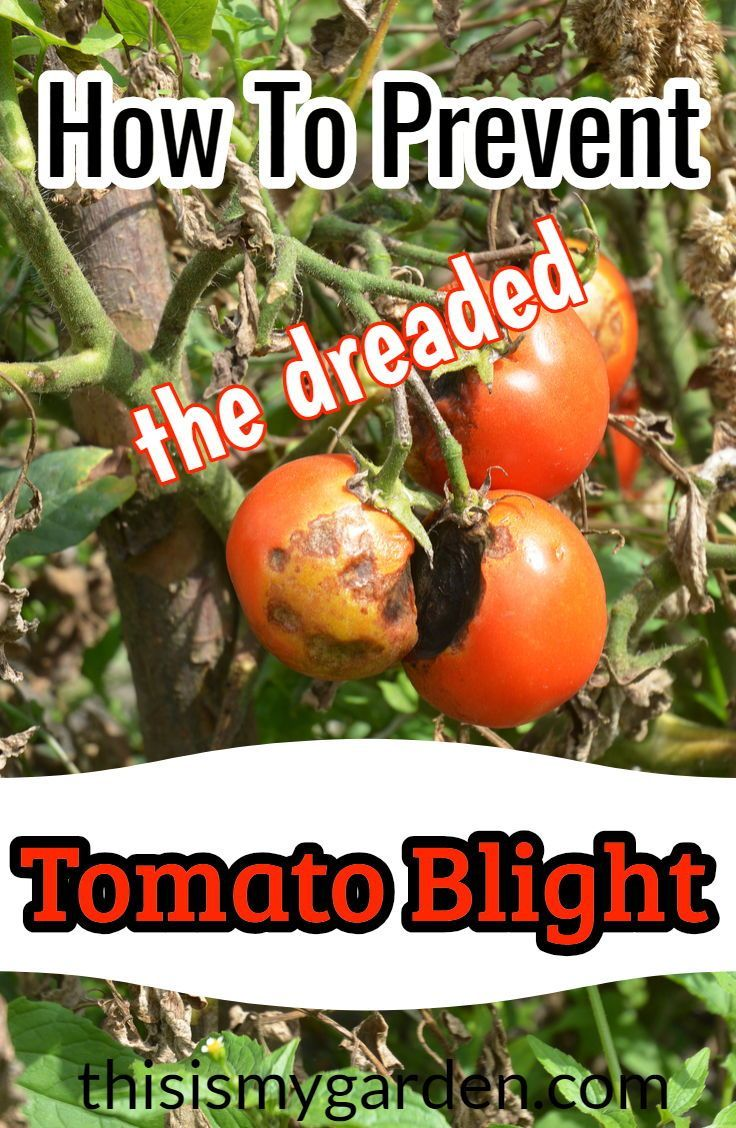 e457e5e750b89e12877d896420a1a110 - How To Get Rid Of Late Blight On Tomatoes