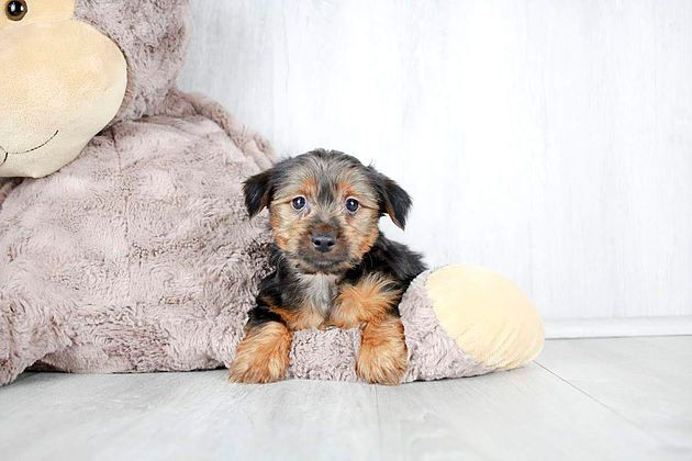 Puppies For Sale Columbus Ohio Sunrise Pups Small Breed Puppies Puppies Retriever Puppy Puppies For Sale