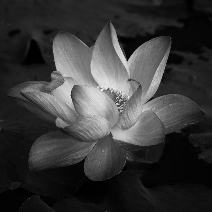 черно белое фото цветка лотоса хорошего разрешения обеих