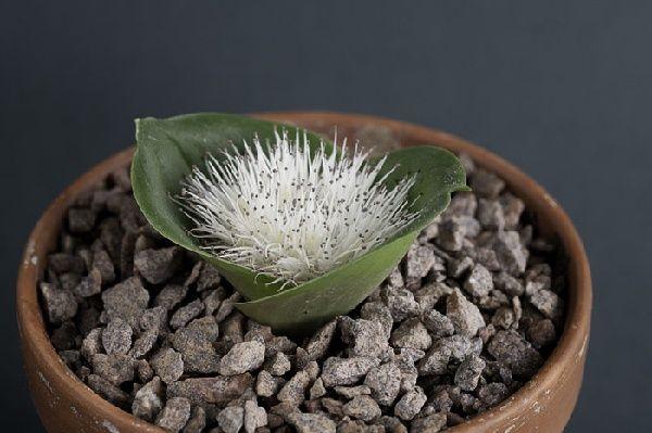 Massonia pygmaea18337.jpg