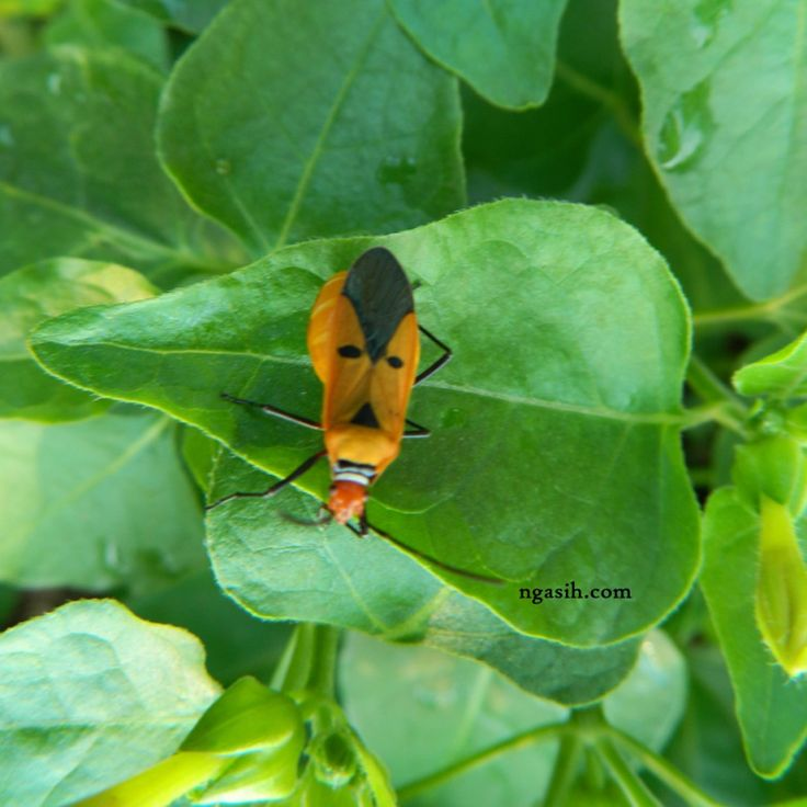 Red Cotton Bug images