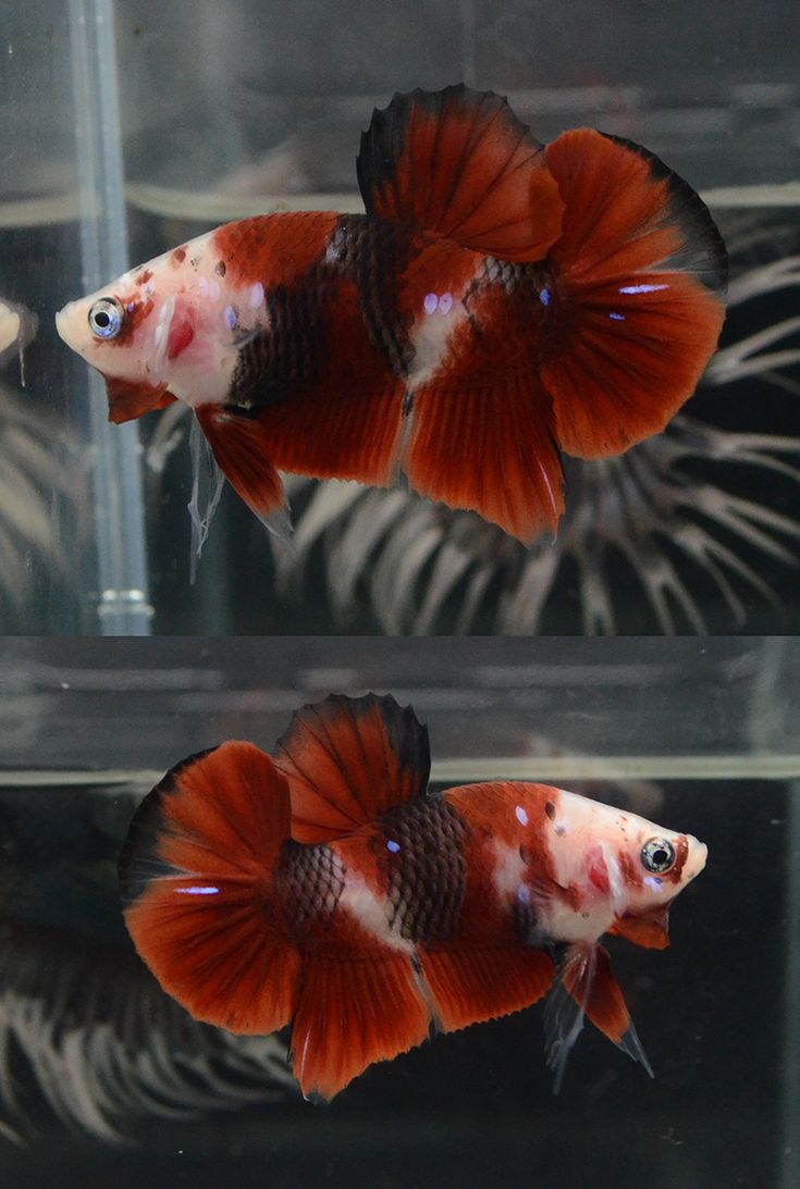 98 best koi bettas 100 images on pinterest betta betta for Male koi fish