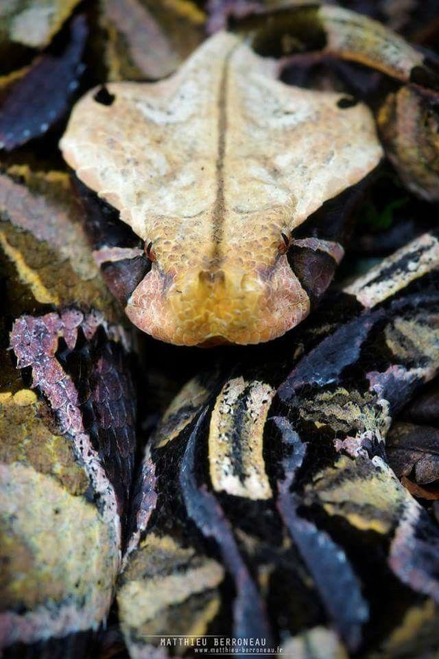 Gabion viper