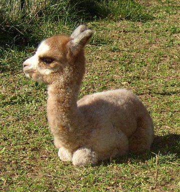 Baby Alpaca!!!!!!!
