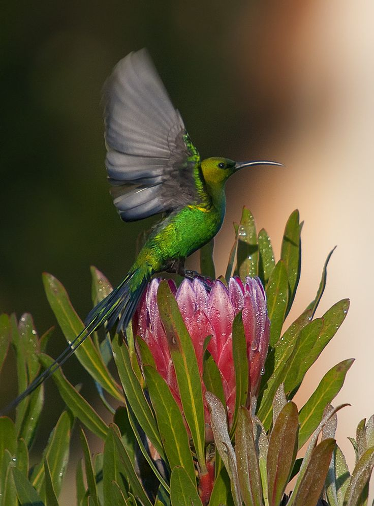 Malachite Sunbird & King Protea. South Africa. BelAfrique your personal travel planner - www.BelAfrique.com