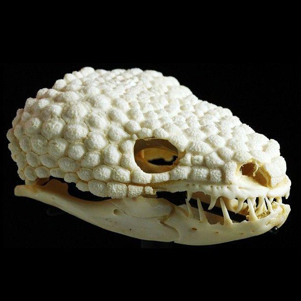 Gila Monster (Heloderma suspectum) Skull.