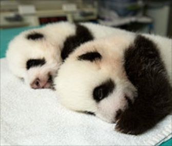 Beginning on Wednesday, Zoo Atlanta will let the public vote on the five pairs of names that it's selected for the fluffy baby boys.