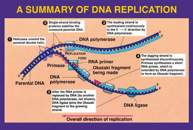 Week 25 DNA Replication | MrBorden's Rattler Blog 664