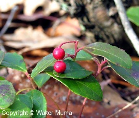 Wintergreen (Gaultheria procumbens) berries