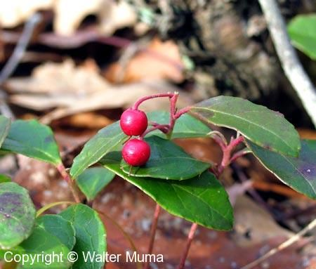 Wintergreen (Gaultheria procumbens) berries