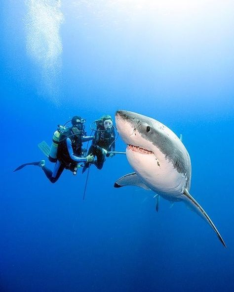 Great White sharks are NOT dangerous according to the diver who swam out of his underwater cage to prove it.> This is deceptive because divers swimming next to a shark are less likely to be mistaken by them as fish or seals. People on the surface of the water swimming diving or surfing appear as prey to the sharks who cannot tell the difference until AFTER they bite into the swimmer or surfer. The wounds inflicted by the bite could be fatal..